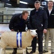 Reserve Champion Ewe