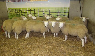 Crop of Ewe Lambs 2014
