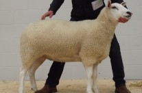 2nd Prize Shearling Ewe – £700 (Carlisle Sale 2015)