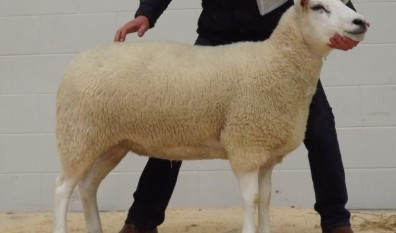 2nd Prize Shearling Ewe – £700 (Carlisle Sale 2015)