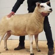 1st Prize Shearling Ewe – £1000 (Carlisle Sale 2015)