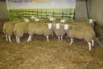 show-ewe-lambs-002